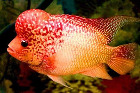 19 Jenis Ikan Hias jenis ikan hias air tawar terlengkap yang mudah dipelihara