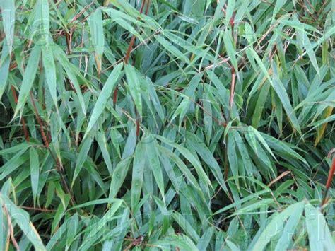 bambouweb fr liste des bambous