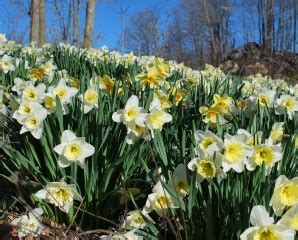focus on bulbs narcissus for naturalizing