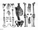Bones Of Human Body Antique Medical Illustrations And ...