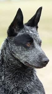 Grey and black Australian cattle dog blue heeler. One of ...