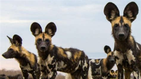 kansas city zoo  breed endangered african wild dogs