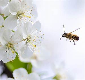 Guide To Apple Tree Pollination