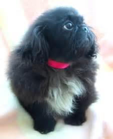 Pekingese Black Female Puppy Horncastle, Lincolnshire