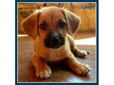 puppy adoption event  petco  wheatondanada