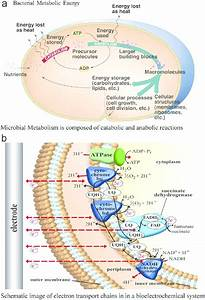 A  Microbial Metabolism Is Composed Of Catabolic And Anabolic