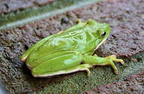 Tree Frog Another Sign of Spring - Four Rivers Explorer