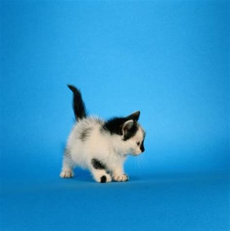 coccidiosis  kittens pets