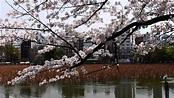 日本上野公園櫻花祭-下集 - YouTube
