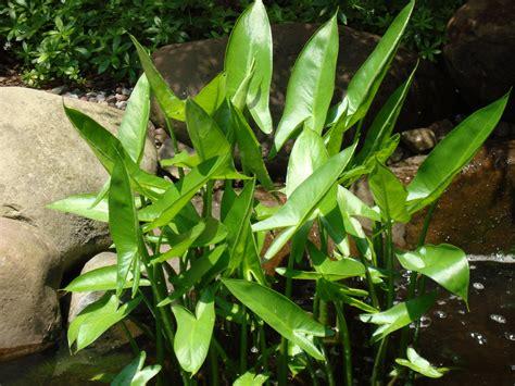 water plants anyone grown arrow arum in an aquarium the planted tank forum