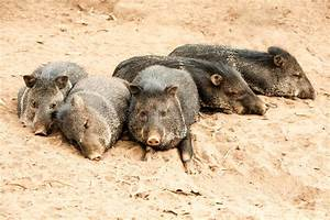 Wild Collared Peccary Pig Family Stock Photo - Image of ...