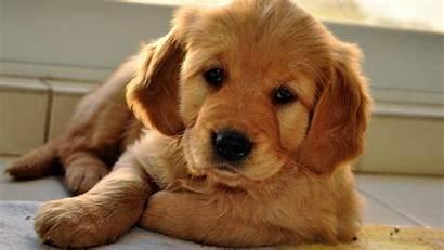 Cute Puppy Dog Wallpapers Eyes Beige Sleepy