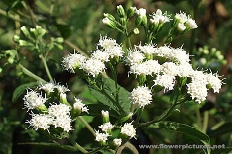 hit the floor yelena white flower perennials 28 images perennial plants with white flowers lifecycle perennial