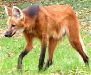 Dog-fox Hybrids - Mammalian Hybrids - Biology Dictionary