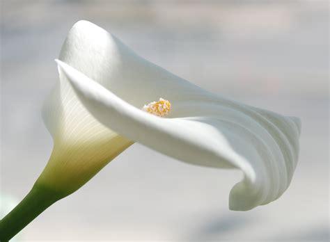picture of calla the calla lily la calla little cloudy dreams