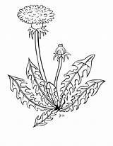 Weed Coloring Dandelion Shrub Flower Vippng Ai Downloads Resolution Kb Views Format sketch template