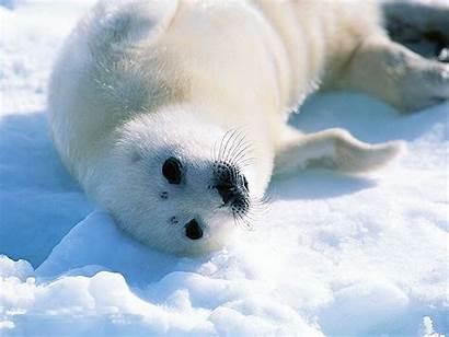Seal Sea Lion Windows Tundra Arctic Wallpapers