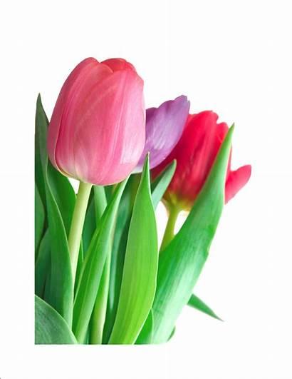 Transparent Tulips Background Clipart Clip Tulip Pink