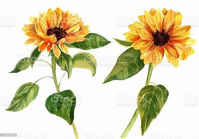 Leaves Watercolor Sunflowers Background Illustration Sunflower Illustrations