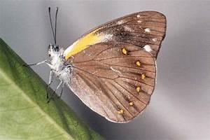 Undersides Of Butterflies Of Australian Pieridae
