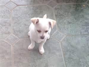 White Cream Chihuahua Puppies