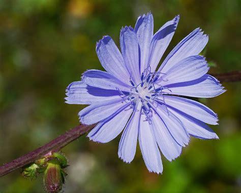 fiori di bach in menopausa fiori di bach in menopausa chicory menopausa