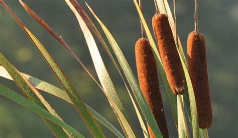 cattails  delicious healthy nuisance hobby farms