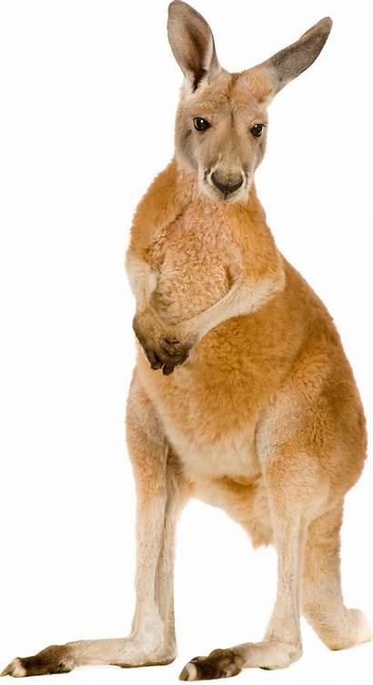 Kangaroo Clipart Transparent Canguro Macropodidae Kanguru Animals