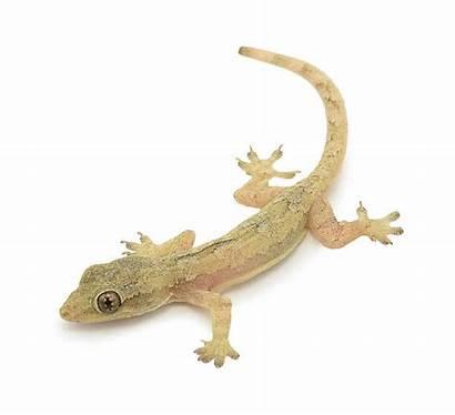 Common Gecko Lizard Geckos