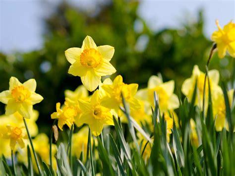 daffodil varieties  bloom  spring saga