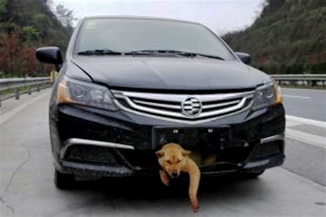 Struck Dog Survives In Car Grill And Is Adopted By Driver
