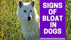 Symptoms Of A Dog With Bloat And How To Prevent Bloat In