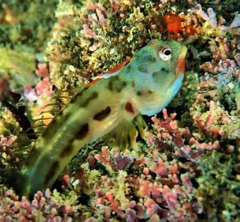 mexican barnacle blenny mexico fish birds crabs