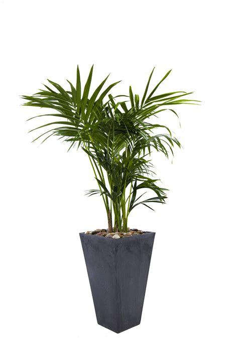 indoor plant howe fosteriana