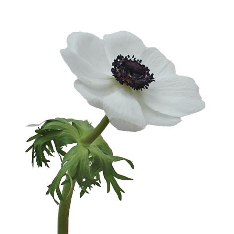 white with centers fresh cut anemones october to