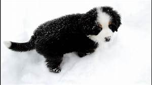 Josie: 9 week old Bernese Mountain Dog Pup Playing in Snow ...