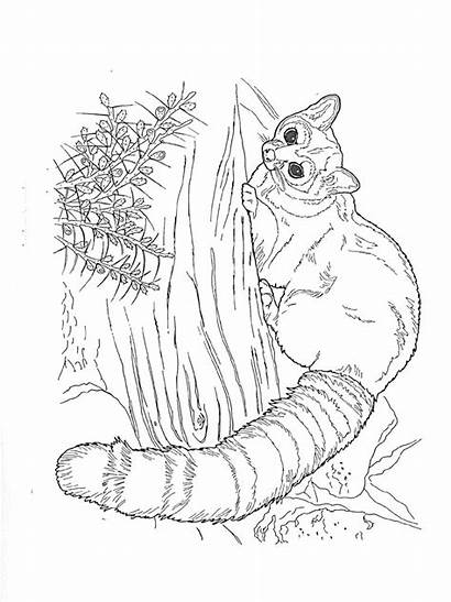 Raccoon Coloring Pages Racoon Adult Animals Template