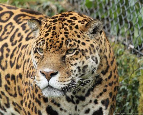 Jaguar Animal Wallpaper Hd - jaguar hd wallpapers animal jpg desktop background