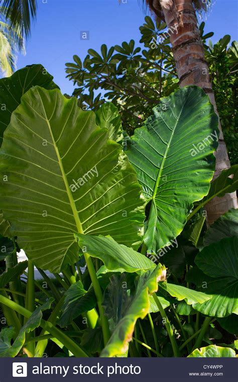 Large Leaves On A Tropical Plant Stock Photo, Royalty Free