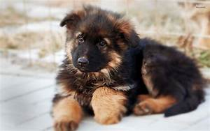 All You Need To Know About The German Shepherd Dog