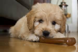 Rescue Goldendoodle Puppies