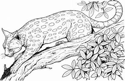 Leopard Coloring Pages Animals Wildlife Adult Colour
