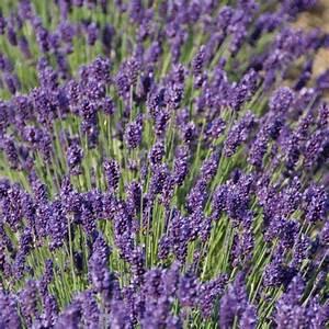 Englischer Garten Pflanzen : englischer lavendel peter pan xl von g rtner p tschke ~ Articles-book.com Haus und Dekorationen