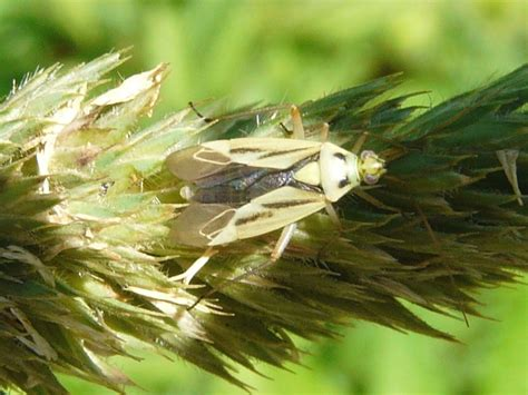 grass bugs pictures toronto wildlife more two spotted grass bugs