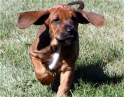 coonhound shedding redbone coonhound info temperament puppies