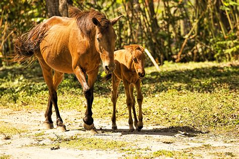offspring horses animal facts mare foal horse kidzone ws evans brian walking