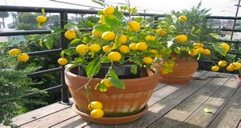 comment greffer un citronnier en pot 28 images mon jardin citronnier en pot 224 faire