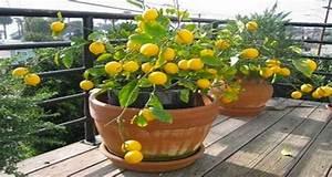 Planter Un Citronnier : citronnier en pot faire pousser partir d 39 un simple p pin ~ Melissatoandfro.com Idées de Décoration