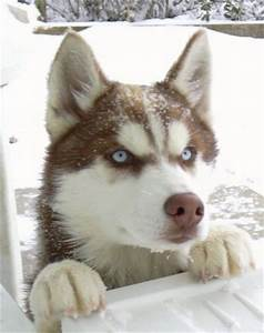 Dogs images Cute siberian husky wallpaper and background ...
