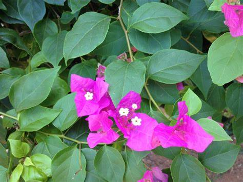 Known as the saucer magnolia, this large shrub or small tree produces flowers in very early spring, on the bare branches, before the leaves emerge. What is the name of this bush with pink flowers ...